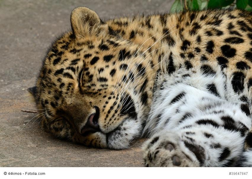 Amru Leopard
