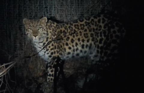 161351_600 junger Leopard
