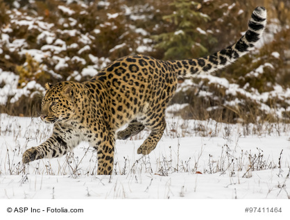 Amur Leopard in a snowy Forest